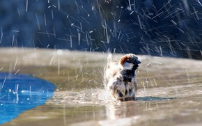 Picture water, squirt, Sparrow, bird, water, sparrow, birdie