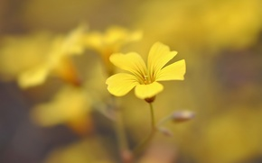 Picture yellow, background, widescreen, Wallpaper, blur, petals, wallpaper, flowers, flower, widescreen, background, full screen, HD wallpapers, …