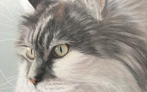 Picture cat, look, painting, Tomcat