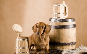 Picture dog, skin, Dachshund, mugs, barrel, brown, wooden, Wallpaper from lolita777