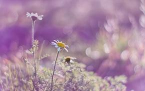 Picture light, petals, Daisy, Blik