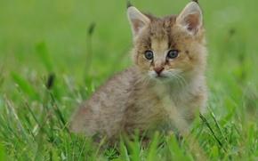 Wallpaper grass, baby, kitty, lynx, a small lynx