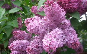 Picture leaves, lilac, shrub