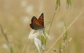 Picture grass, butterfly, blur, spikelets, grass