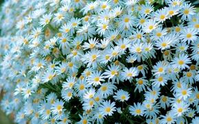 Picture chamomile, white, a lot