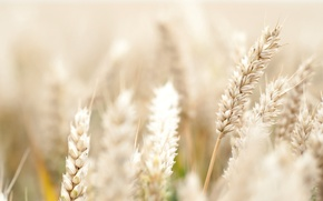 Picture flowers, widescreen, HD wallpapers, Wallpaper, spike, wheat, field, rye, flower, full screen, background, fullscreen, macro, ...