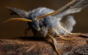 Picture wings, legs, hairy, fluff, moth, Insect