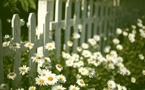 Picture flowers, background, widescreen, Wallpaper, mood, the fence, chamomile, Daisy, the fence, wallpaper, flowers, widescreen, flowers, ...