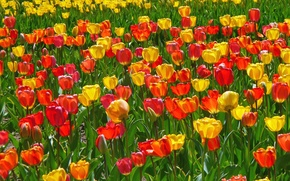 Picture nature, petals, meadow, tulips