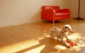 Picture the ball, chair, floor, Dalmatians