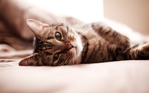 Picture cat, cat, face, Wallpaper, bed, bed, wallpaper, kitty, Kote