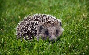 Picture grass, barb, hedgehog