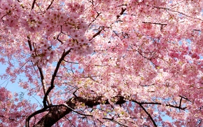 Picture branch, spring, petals, Sakura, East, Japan, pink, sakura