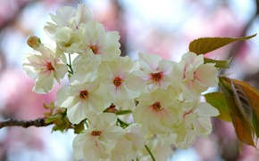 Picture leaves, flowers, branch, spring, flowering, pink and white