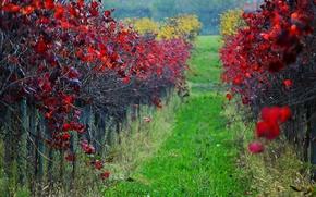 Picture autumn, leaves, vineyard, the crimson