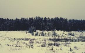 Picture winter, forest, snow, pine, tree, Bor, Vologda oblast, Totma district, Cherepovets, Vologda, Tot'ma
