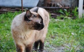 Picture Cat, Cat, Siamese