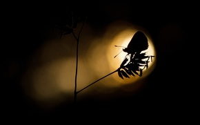 Picture light, butterfly, plant, silhouette