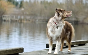 Picture bridge, lake, dog