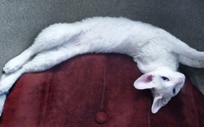 Picture Cat, white, blue-eyed, Cornish Rex