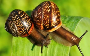 Picture greens, nature, sheet, two, snails