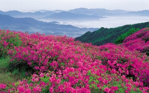 Picture greens, flowers, mountains, shrub