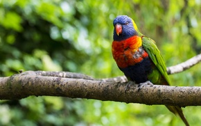 Picture branch, nature, multicolor lorikeet, parrot, blur, tree, greens, bird, colorful