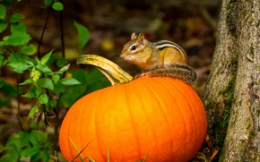 Picture autumn, pumpkin, Chipmunk