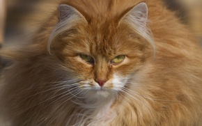 Picture cat, look, fluffy, red