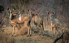 Picture morning, family, Africa, antelope, South