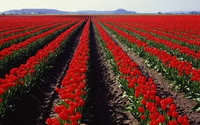 Picture Field, Tulips, Panorama
