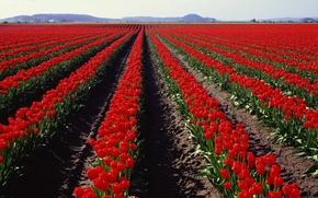 Wallpaper Tulips, Field, Panorama