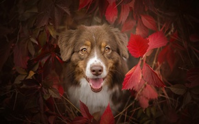 Picture autumn, language, eyes, look, face, leaves, branches, dog, the bushes, shepherd, Australian, the crimson, Aussie