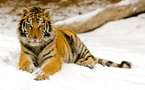 Wallpaper snow, Tiger, winter