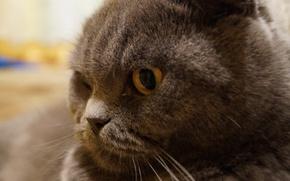 Picture cat, cat, grey, fold, Scottish fold