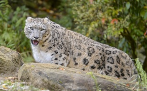 Picture cat, IRBIS, snow leopard, ©Tambako The Jaguar, comneni