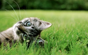 Wallpaper cat, grass, cat, Milota