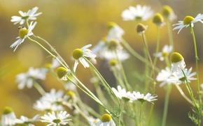Picture flowers, light, nature, plants, stems, white, color, heat, chamomile, petals, greens, blur, summer, the sun, ...