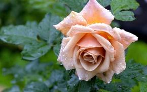 Wallpaper Bud, after the rain, rose, drops
