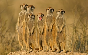 Picture group, animals, meerkats