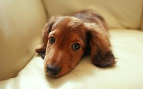 Picture eyes, look, sofa, dachshund, Dachshund