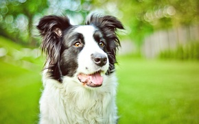 Picture greens, eyes, Park, portrait, dog, spring, bokeh, the border collie, Wallpaper from lolita777
