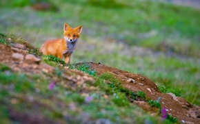 Picture red, fox, Fox