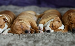Picture sleep, puppies, lazy, carpeted