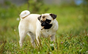 Picture dog, grass, puppy, greens, Pug