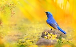 Wallpaper macro, blue, yellow, berries, bird, branch, petals, photographer, Taiwan, bokeh, sunlight, colorful, bright, FuYi Chen, ...