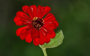 Picture flower, leaves, beauty, petals, stem, flower, beauty, leaf, petals, stalk, red petals, red petals