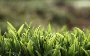 Picture greens, summer, grass, nature, plants, wallpapers, sunshine grass
