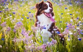 Picture dog, flowers, joy, mood, meadow, Australian shepherd, language