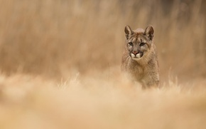 Picture grass, nature, animal, predator, Puma